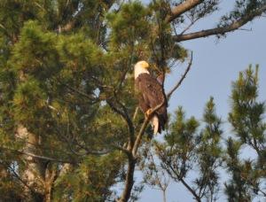 Swan Lake Eagle