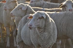 Sheep @ Udi's Farm