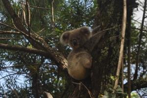 Little baby koala at Minyon Falls