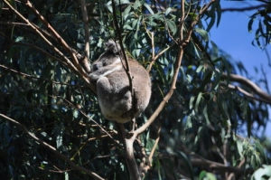 Koala in the trees sleeping
