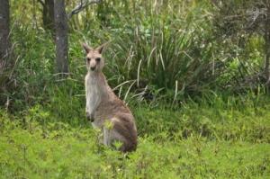 Very cute kangaroo