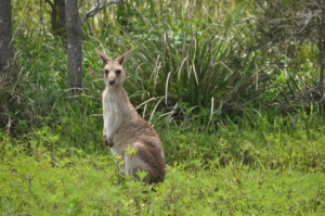 Very cute kangaroo