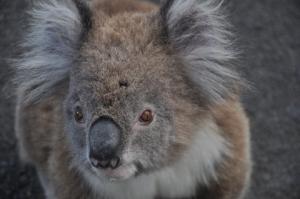 First Koala Bear in Australia