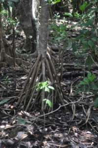 Roots of a tree growing out of the rain forest.