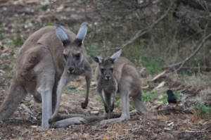 More kangaroos at Yanchep