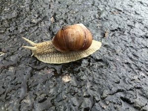 Big snail that was crossing the walking path in Oberau.